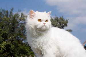 صور قطط شيرازى مون فيس 2014 -صور قطط جميلة