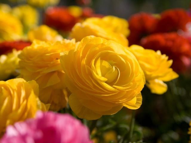صور ورد اصفر رومانسى – صور خلفيات ورد طبيعية 2014